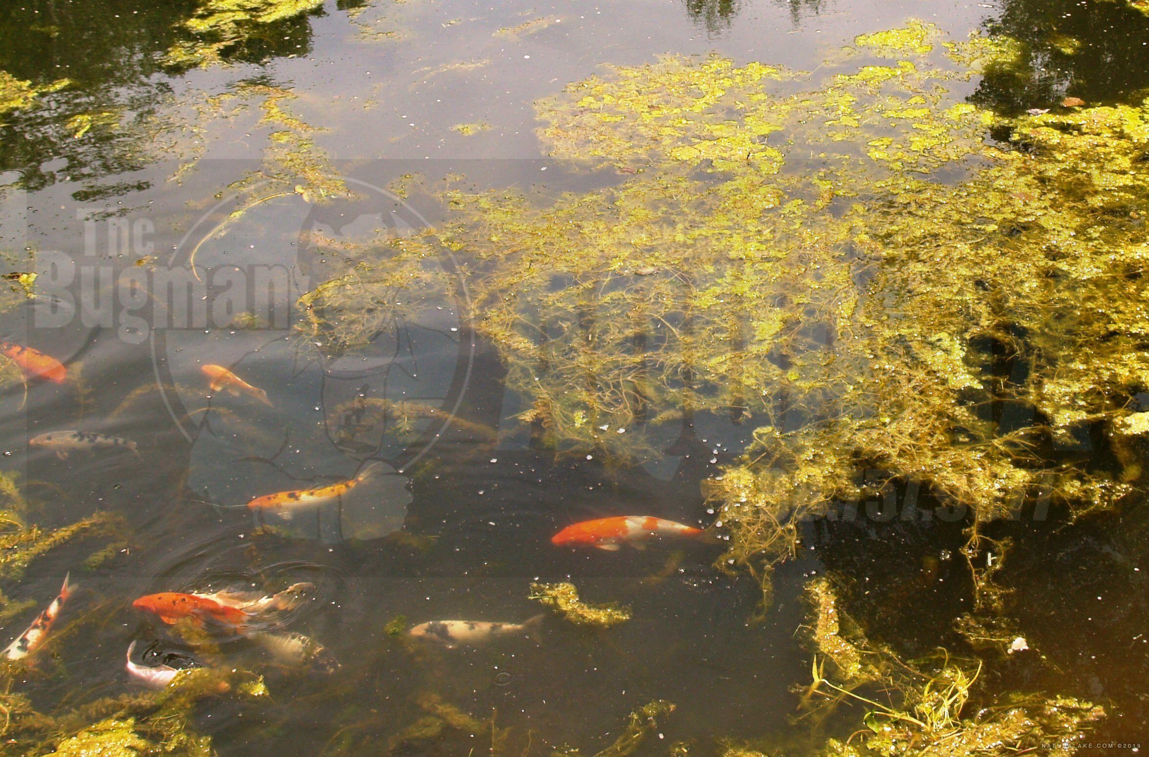Aquatic algae weeds spirogyra hydrodictyon treated with for Koi pond algae