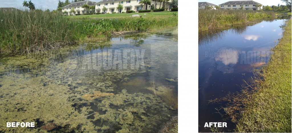 Hygrophila before and after