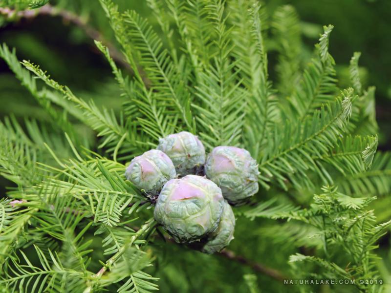 Bald cypress needles
