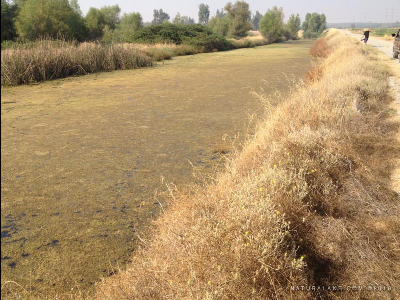 California-pondweed