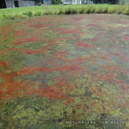Euglena: the Color-Changing Alga