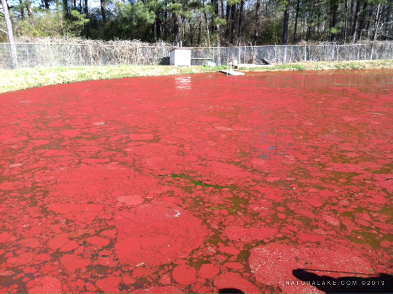 Euglena-red