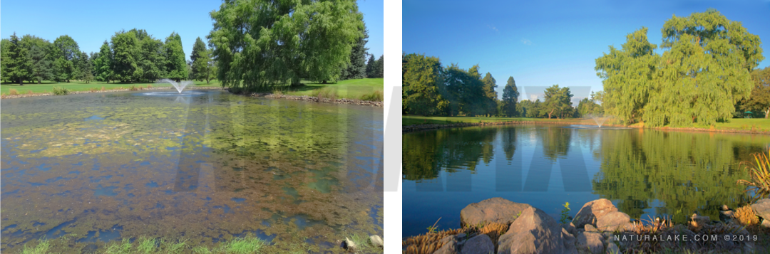 Hydrilla southern naiad before and after