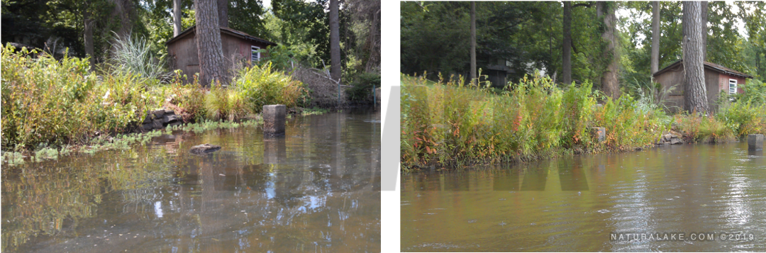 Parrot Feather Milfoil before and after