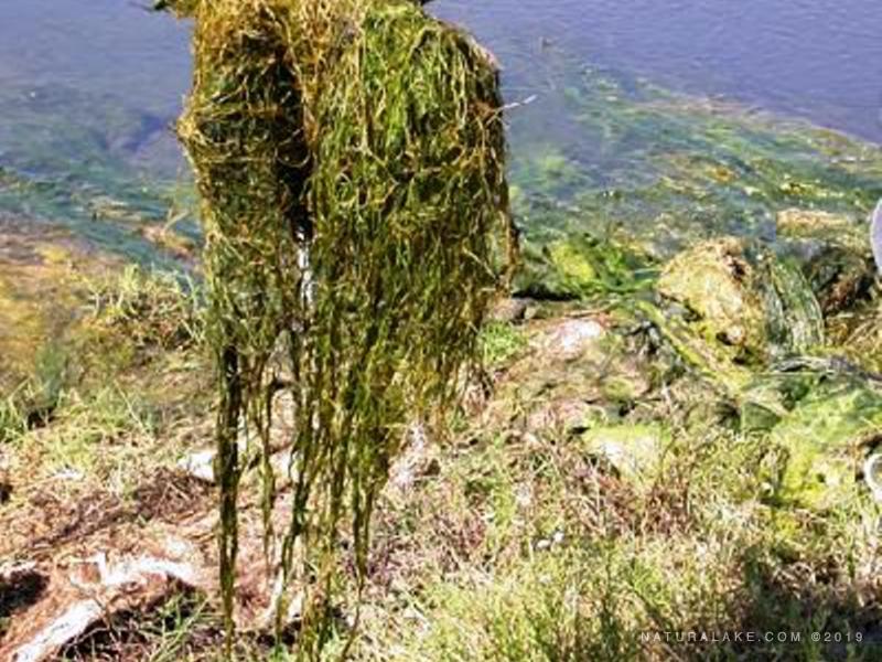 widgeon-grass