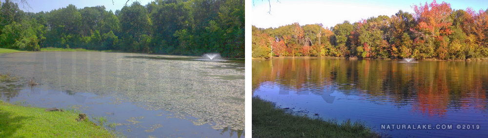 HOA pond before (left) and after (right) treatment