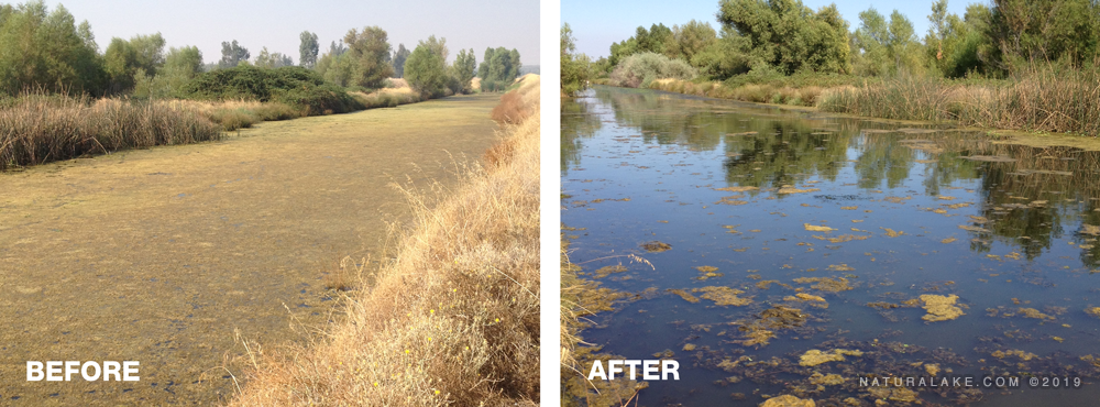 california-pondweed-before-after